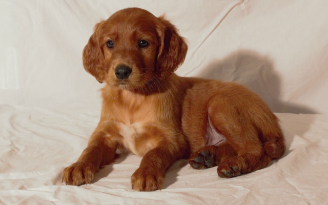 Rock Creek Golden Irish Bloomington Il Glorious Dawn Puppies